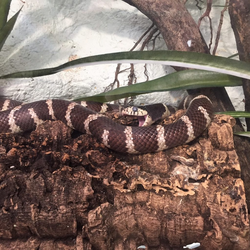 Tropical Butterfly House king snake
